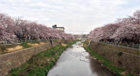 2013香流川桜.jpg