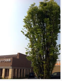 2012春けやき.jpg