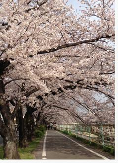 2013桜並木.jpg