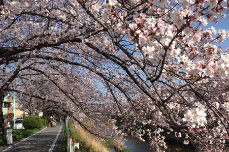 2015年春香流川の桜.jpg