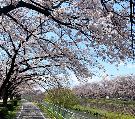 香流川の桜2019.jpg