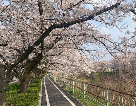 香流川桜2020.jpg