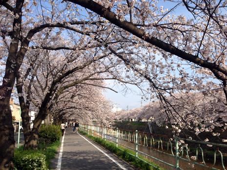 香流川桜並木2014.jpg